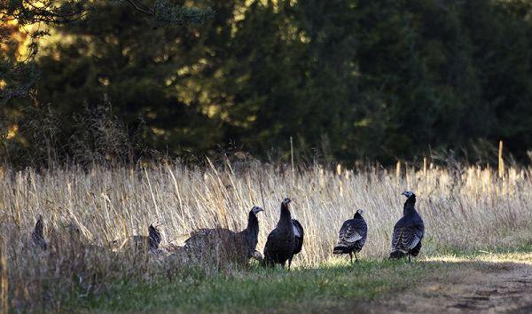 turkeys moving away