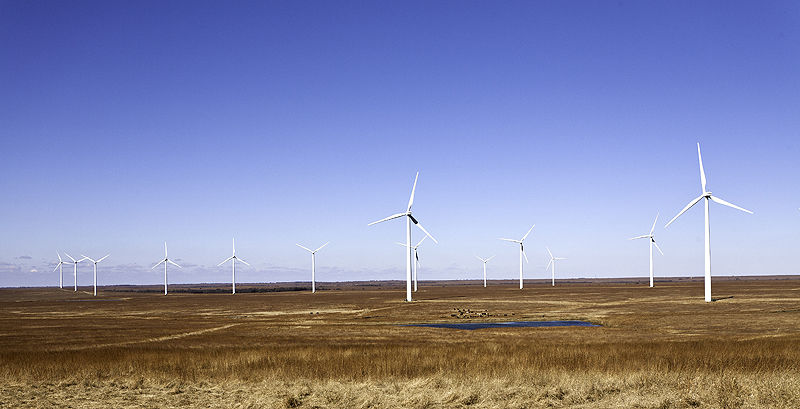 cattle coexist with windmills on the prairie