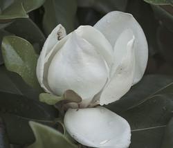 magnoila flower