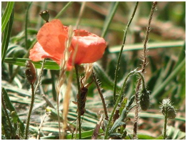 French poppy 2