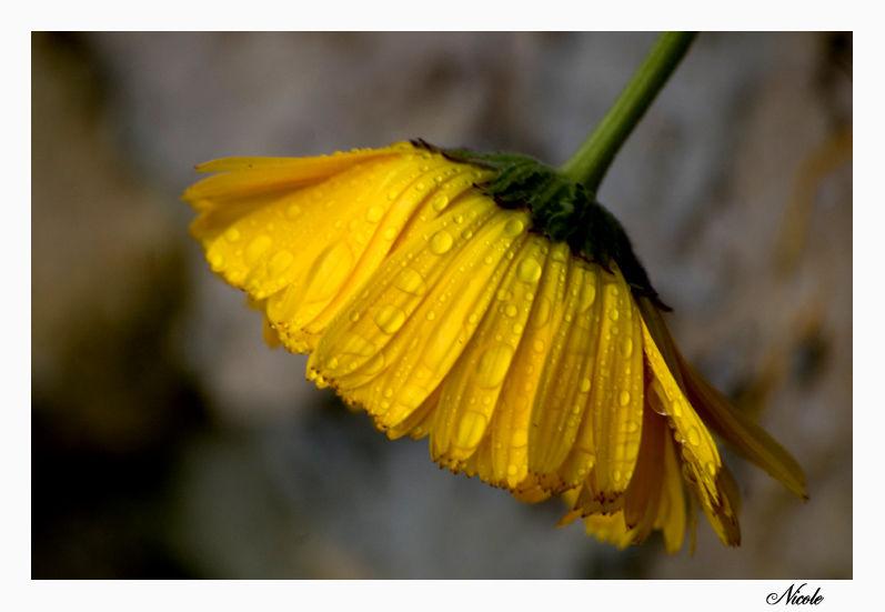 Fleur de souci sous le pluie