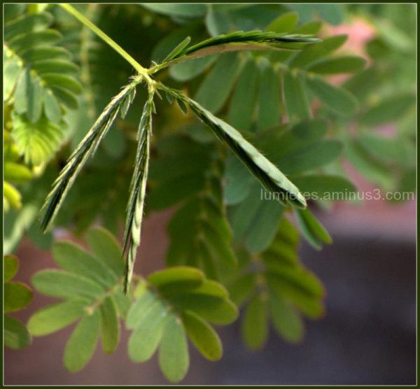 plante sensitive étonnante