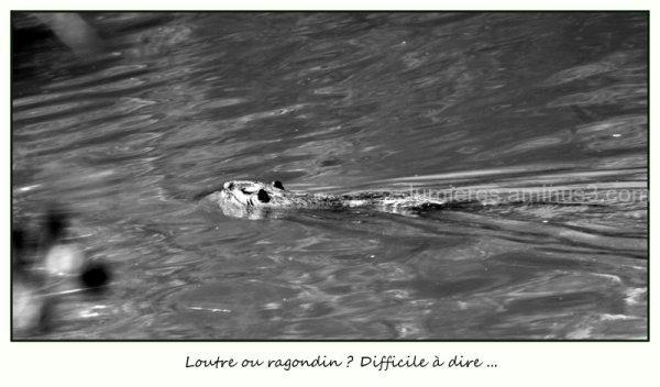 Otter or coypu ?