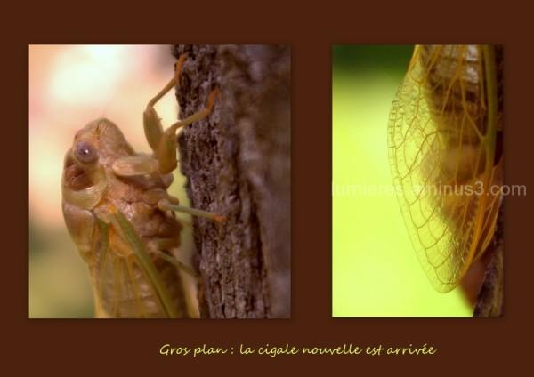 Cigale... Cicada