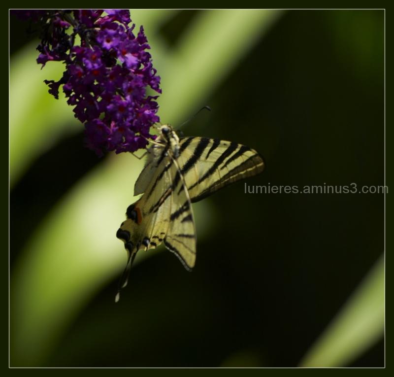 Sur l'arbre à papillons