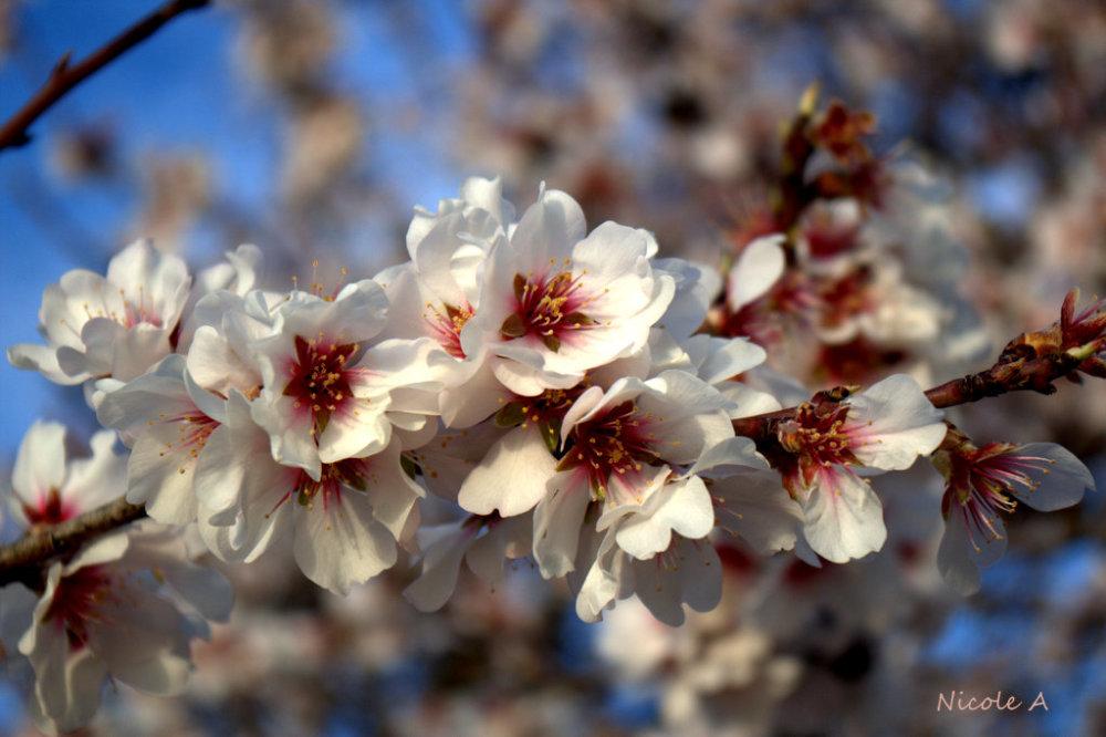 Amand blossoms