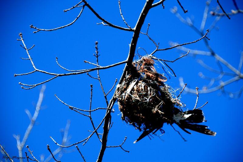 Death of the Magpie-lark