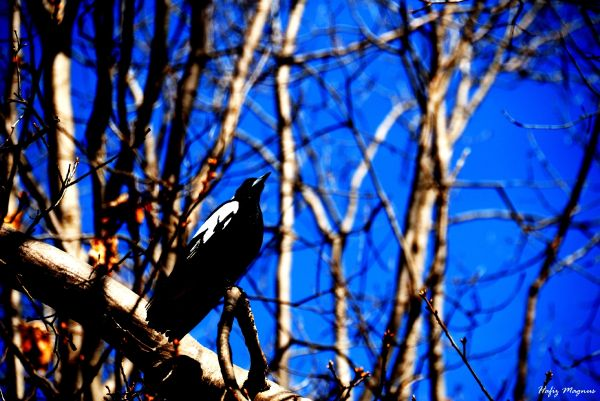 A magpie in the morning