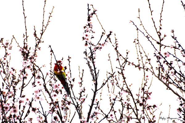 A white-cheeked rosella feeding on spring blossoms