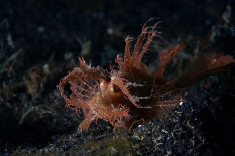 ambon scorpion fish lembeh sulawesi