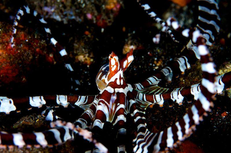 tulamben, macro photography, mimic octopus