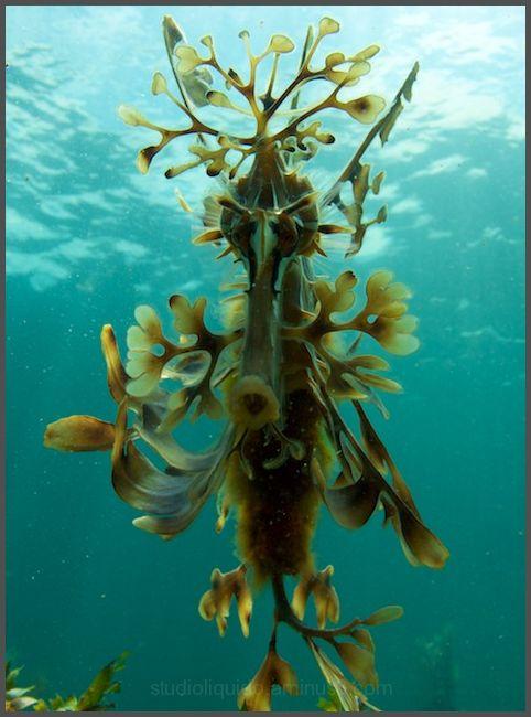 South australia, seadragon, adelaide