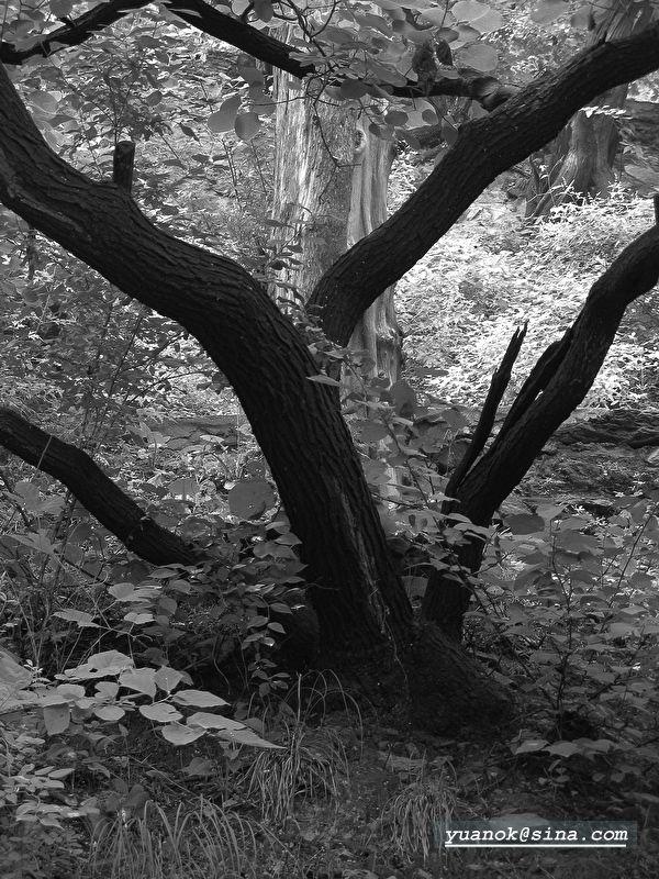 tree black white plant
