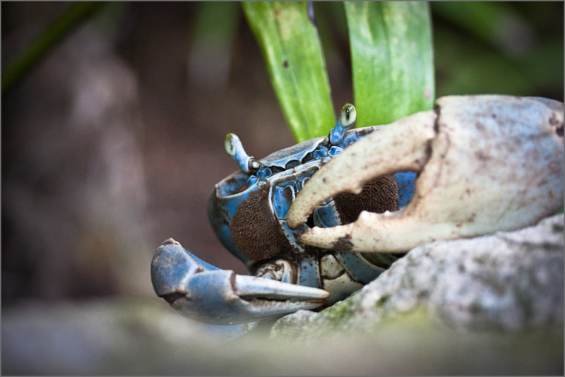 Cangrejn Azul