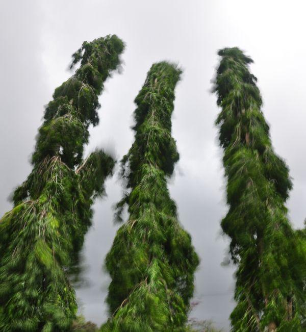 Asokas In The Wind