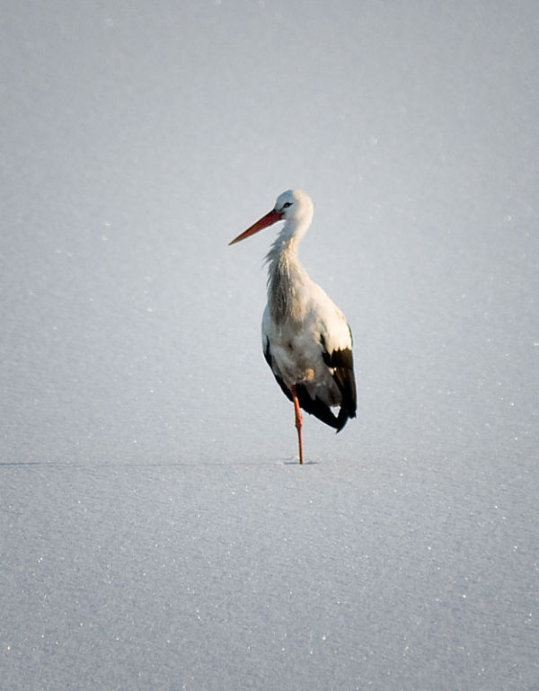 Sture the stork (read the story)