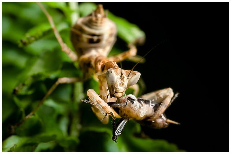 Mantis eats a siriss
