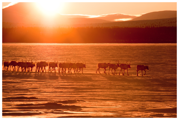 Reindeer in sunset