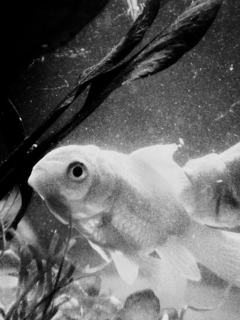 potrait of a goldfish in black and white