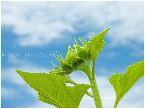 Up ahead - Sunflower Farm - Karnataka - India