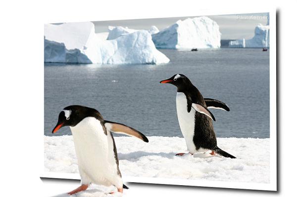 gentoo penguin, manchot papou