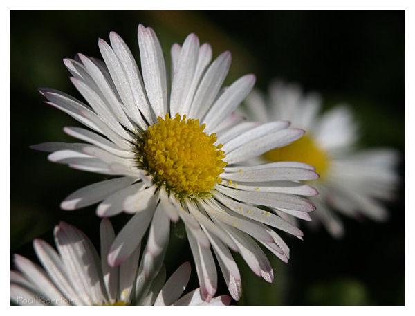 juste une pâquerette / just a common daisy