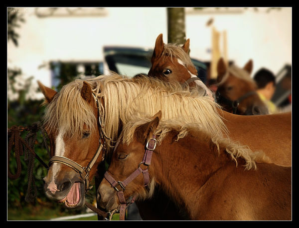 cheval_breton breton_horse