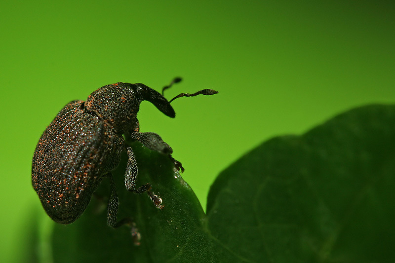 Weevil 2mm long