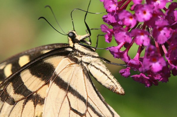 Swallowtail Up Close