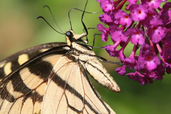 Swallowtail Up Close