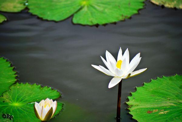 Lotus....