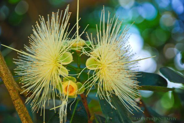 Panner flower.....