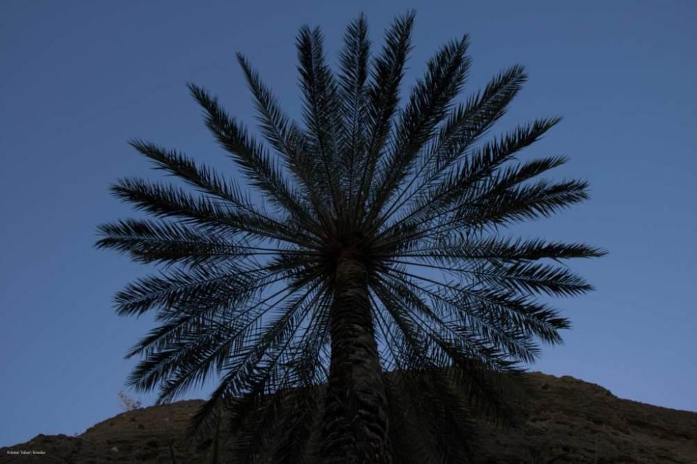 Palm Tree- Kondar Dropfall
