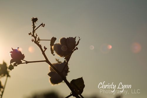 Cotton with Sunlight