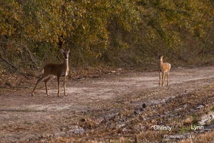 First Decent Deer shot