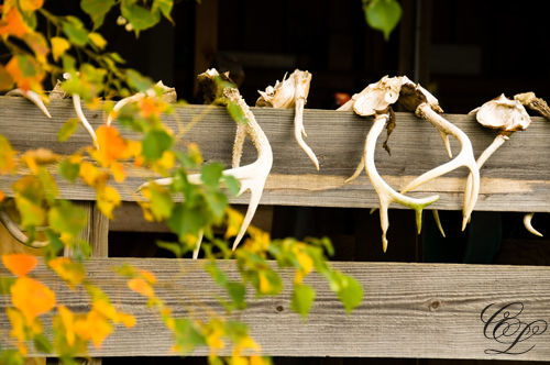 Horns on a fence