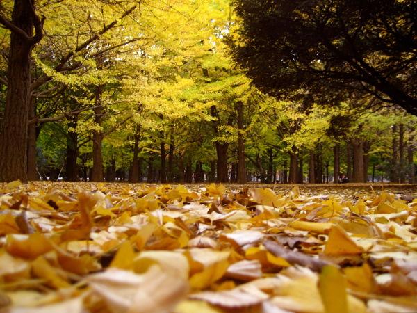 Fallen leaves in Yoyogi Park
