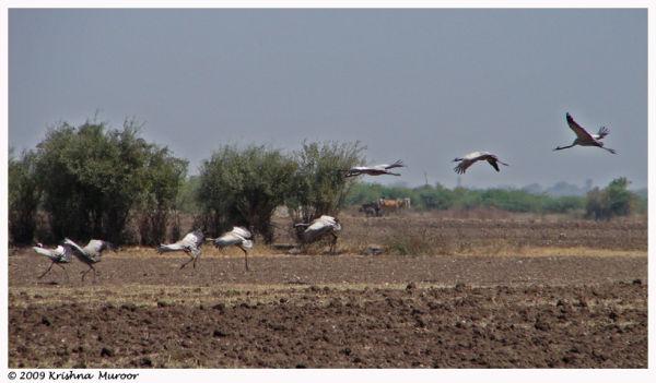 landing bird Demoiselle crane