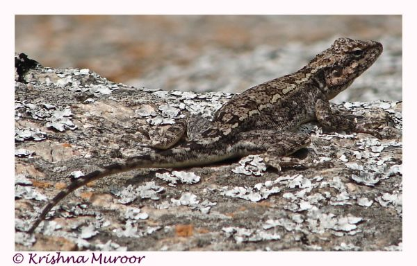 lizard camouflaging over a rock