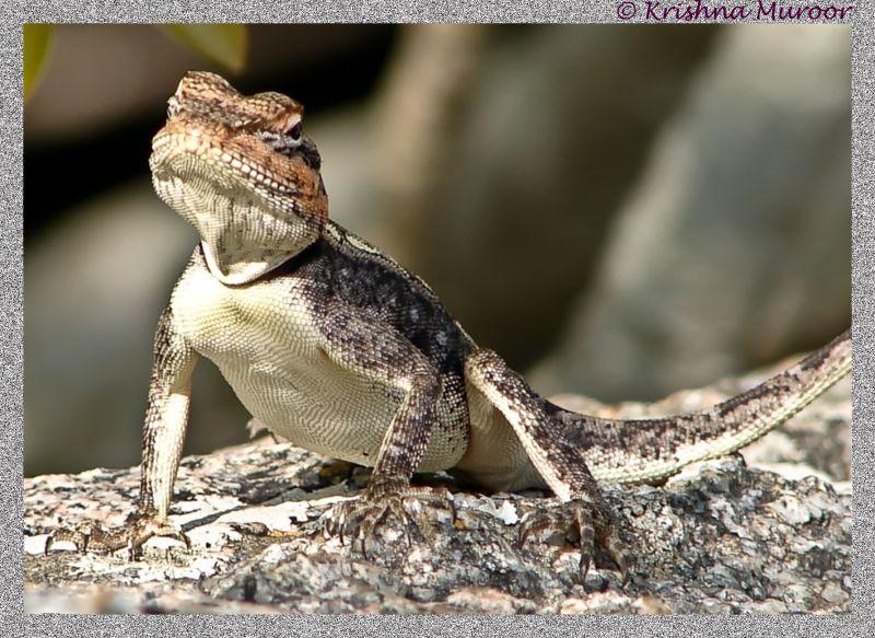 lizard on a rock top cloudy sky