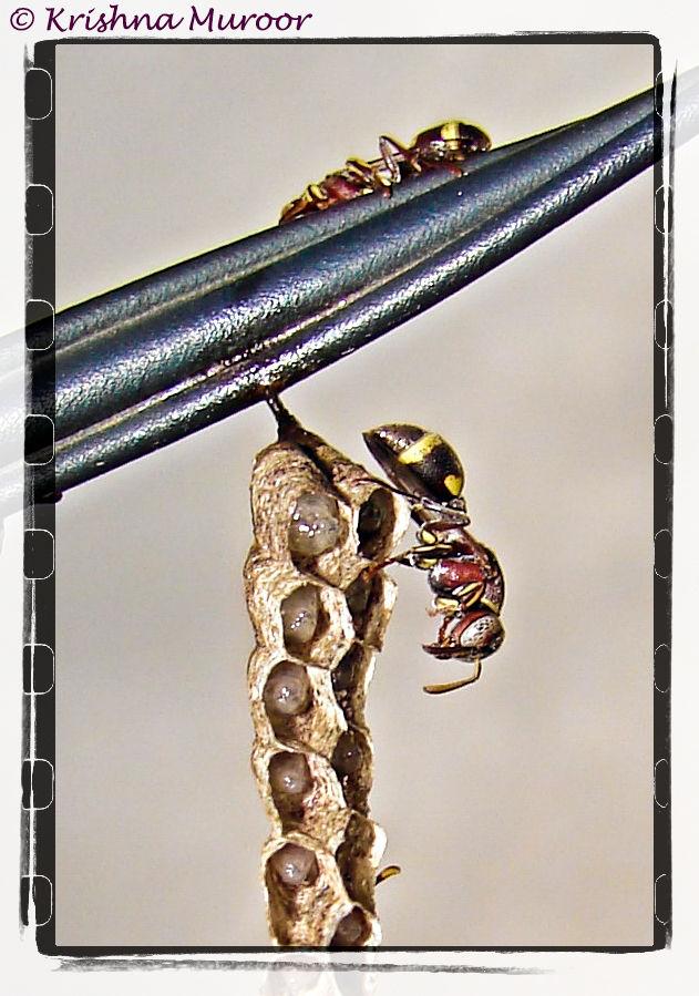 Type of ant