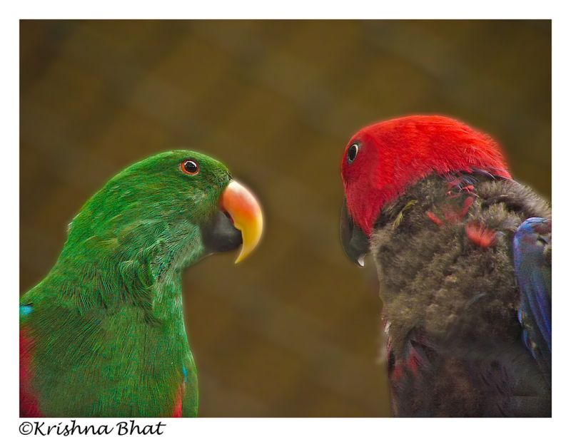Romancing perrots