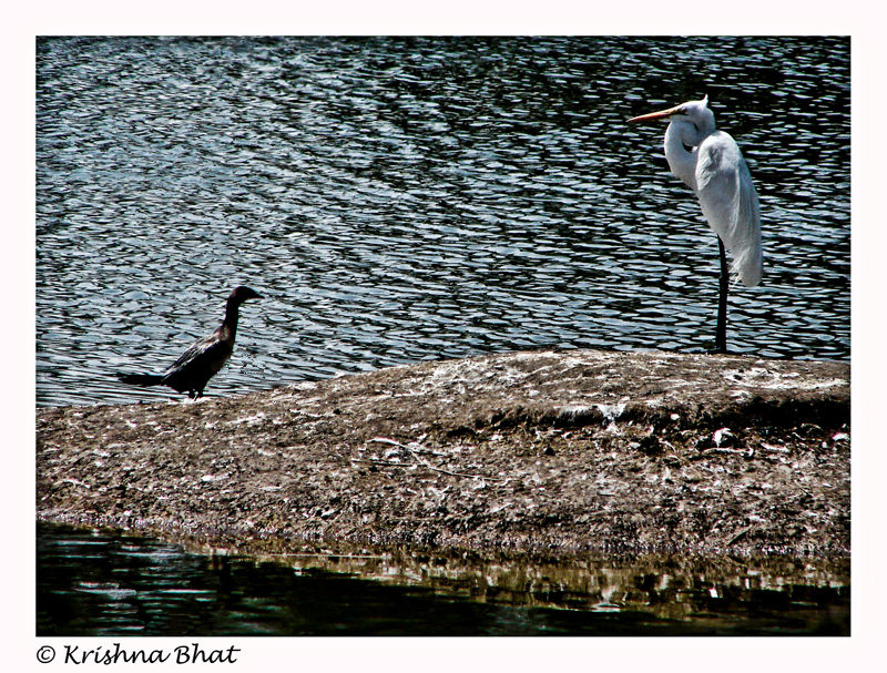 egret and cormorant facing each other
