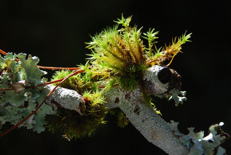 moss lichen