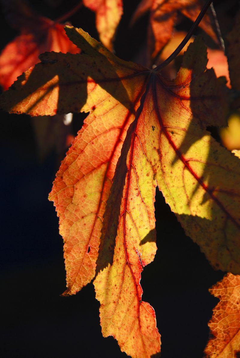 liquid amber leaves