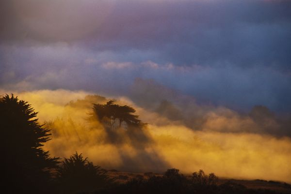 monterey cypress tress in the fog