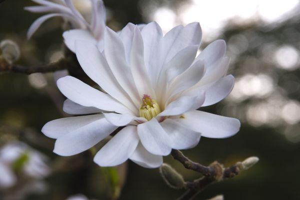 star magnolia blossom