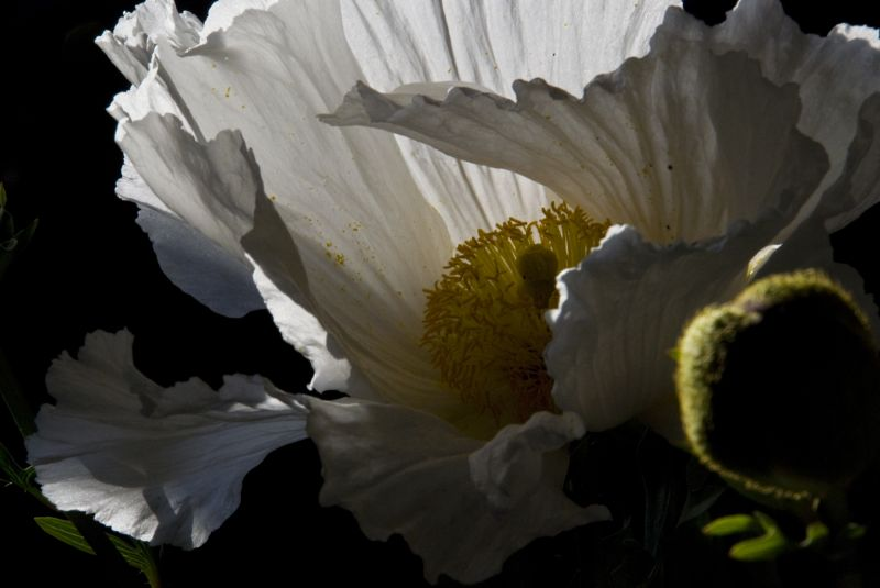 romneya white poppy