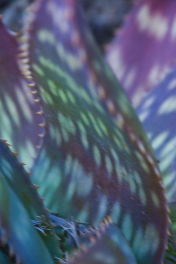 light patterns on agave