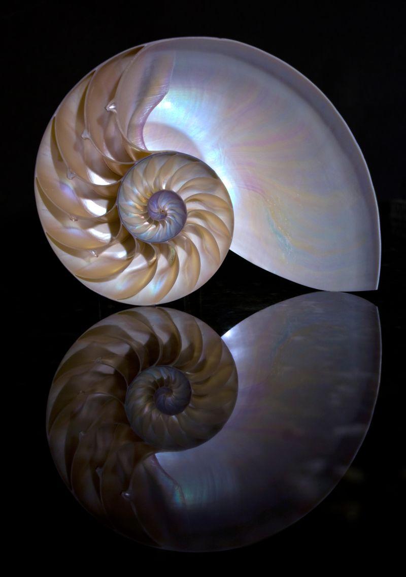 nautilus sea shell
